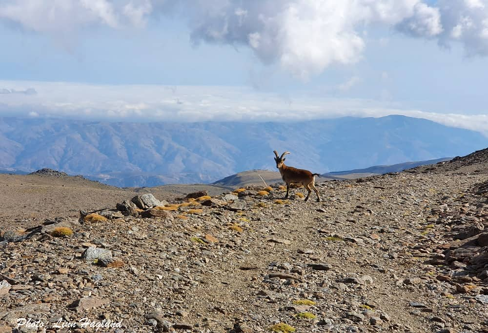 A mountain goat on the alternative road down from Mulhacen