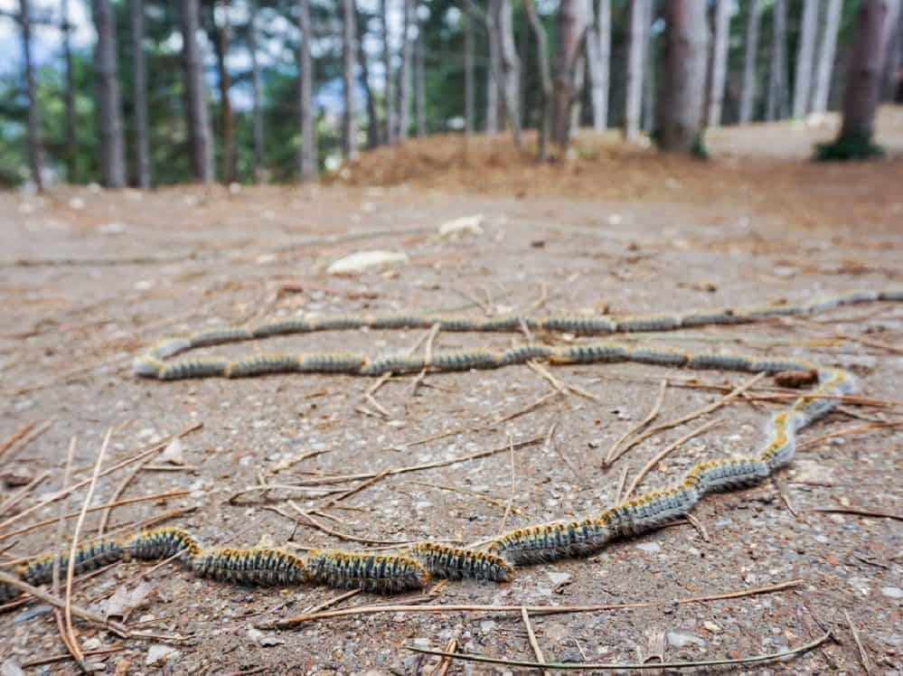 Pine processionary caterpillars in Spain