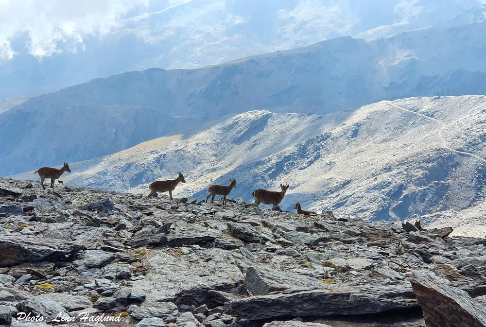 There's a big chance of seeing mountain goats when climbing Mulhacen Spain